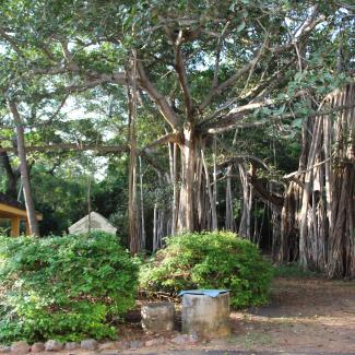 Banyan tree adjacent to LBC dinning room